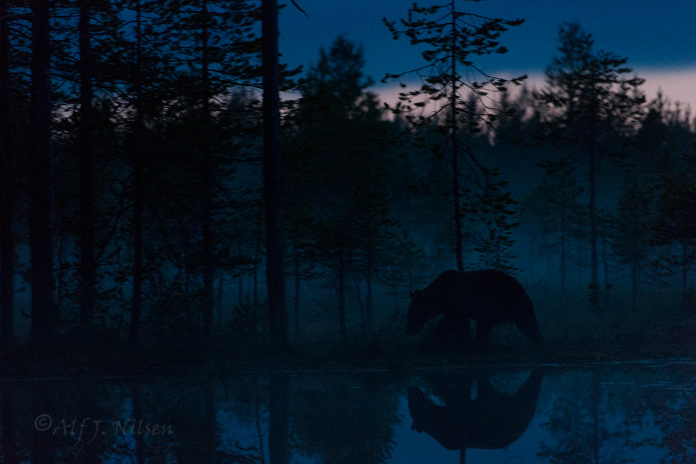 Brown bear at night