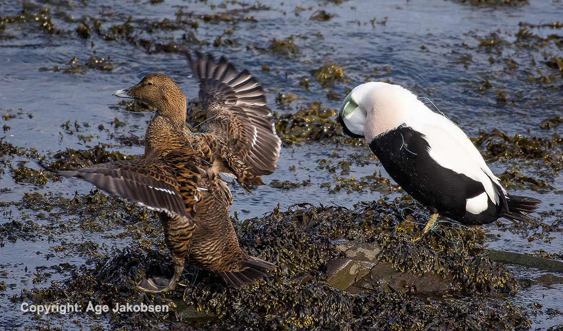 Eider with fish nets