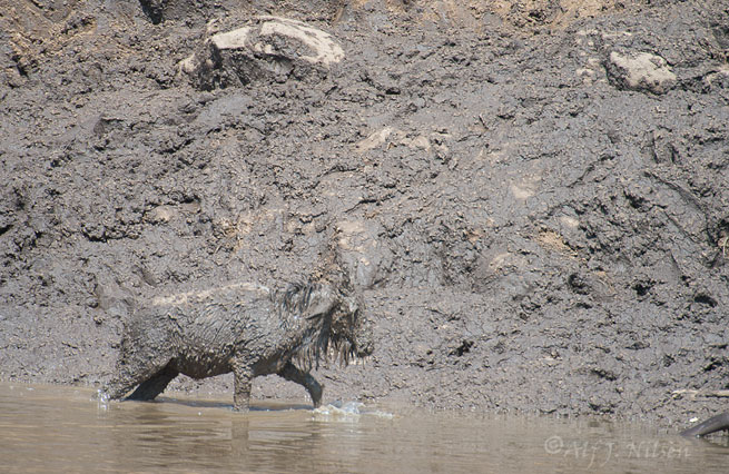 mara river crossing wildebeest