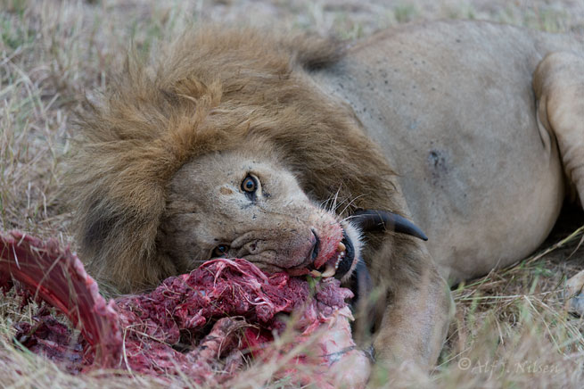male lion feeding in maasai mara