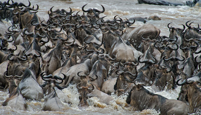 wildebeest mara river crossing