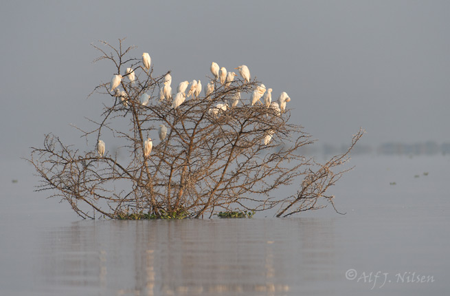 Lake Naivasha cattle egrets